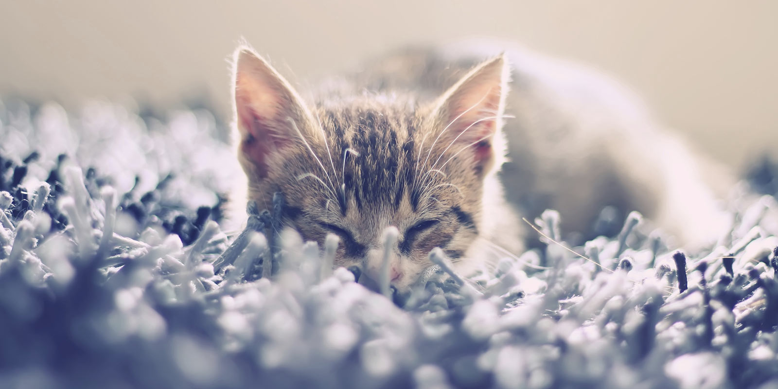 Kitten sleeping in shag carpet.