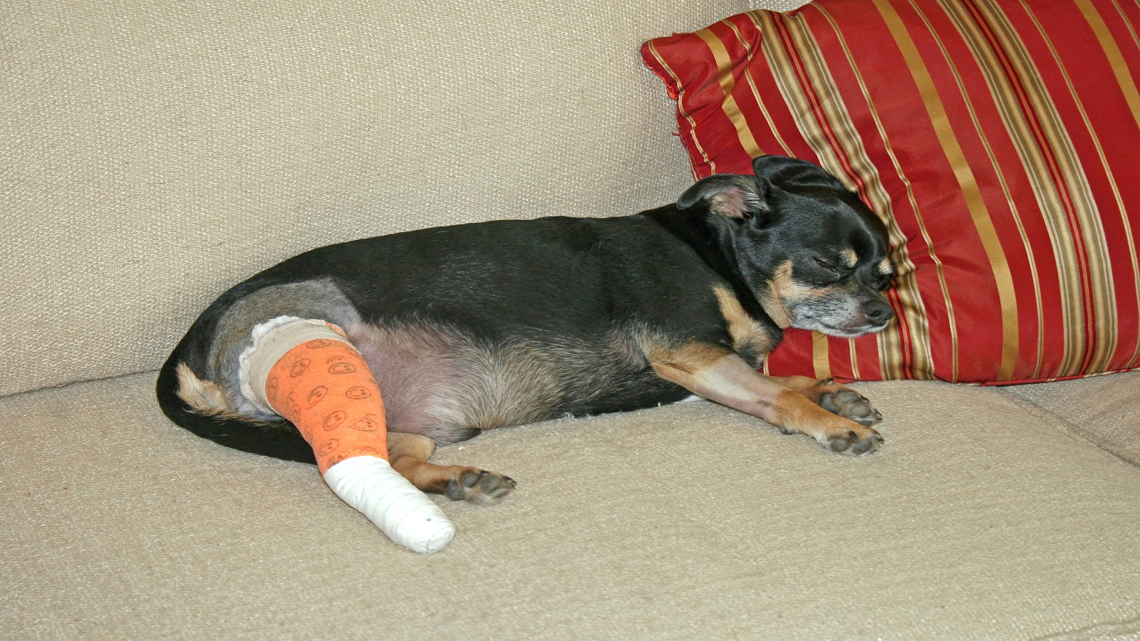 If Your Dog Is Limping It May Be His Acl Pender Vet Animal