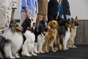 Pender Advance Obedience Class