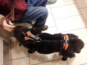 """17 year old """"Tramp"""" Hardy's Golden Years are made easier with his Help em Up harness!"""