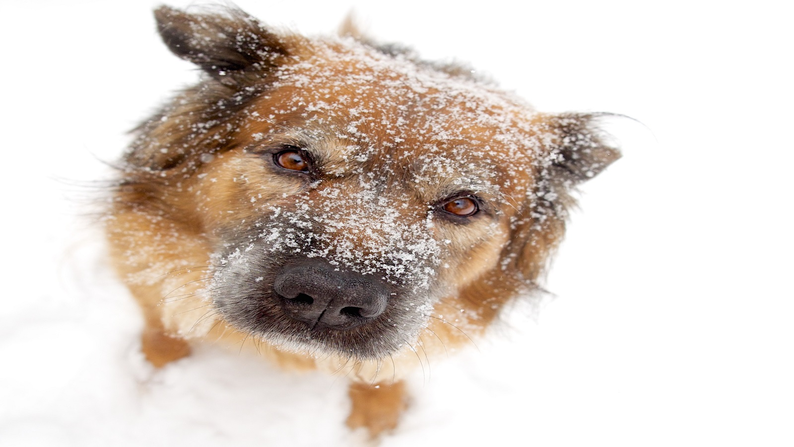 Winter Weather Advisory How To Protect Your Pup Pender